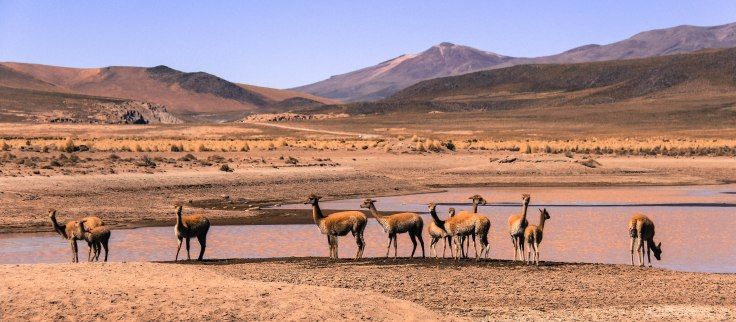 The vicuñas' fleece is incredibly soft - they are a protected species not to be hunted